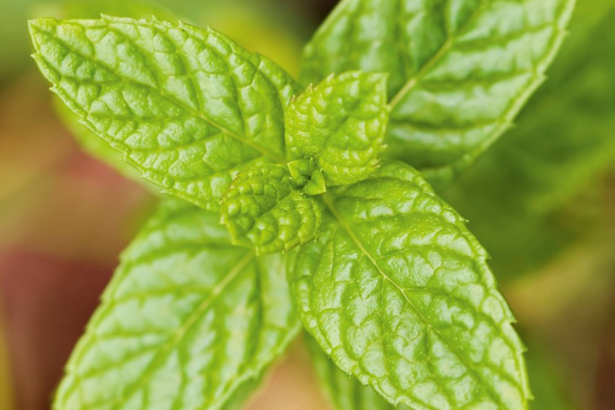 The natural mint solution